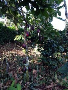One of many cocoa trees