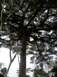 Immense Ceiba tree shading the coffee below