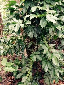 Coffee Tree - Green Cherries
