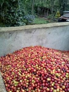 Cherries ready for de-pulping